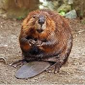 American Beaver by Steve, Creative Commons Share Alike 2.0
