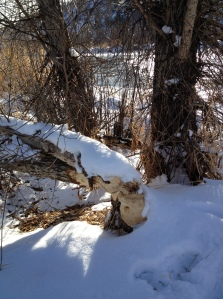 Beaver-chewed tree on Yampa River in Steamboat Springs