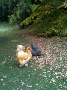 Chatsworth Chickens