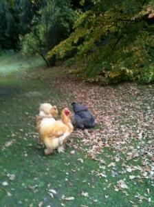 Chatsworth Chickens